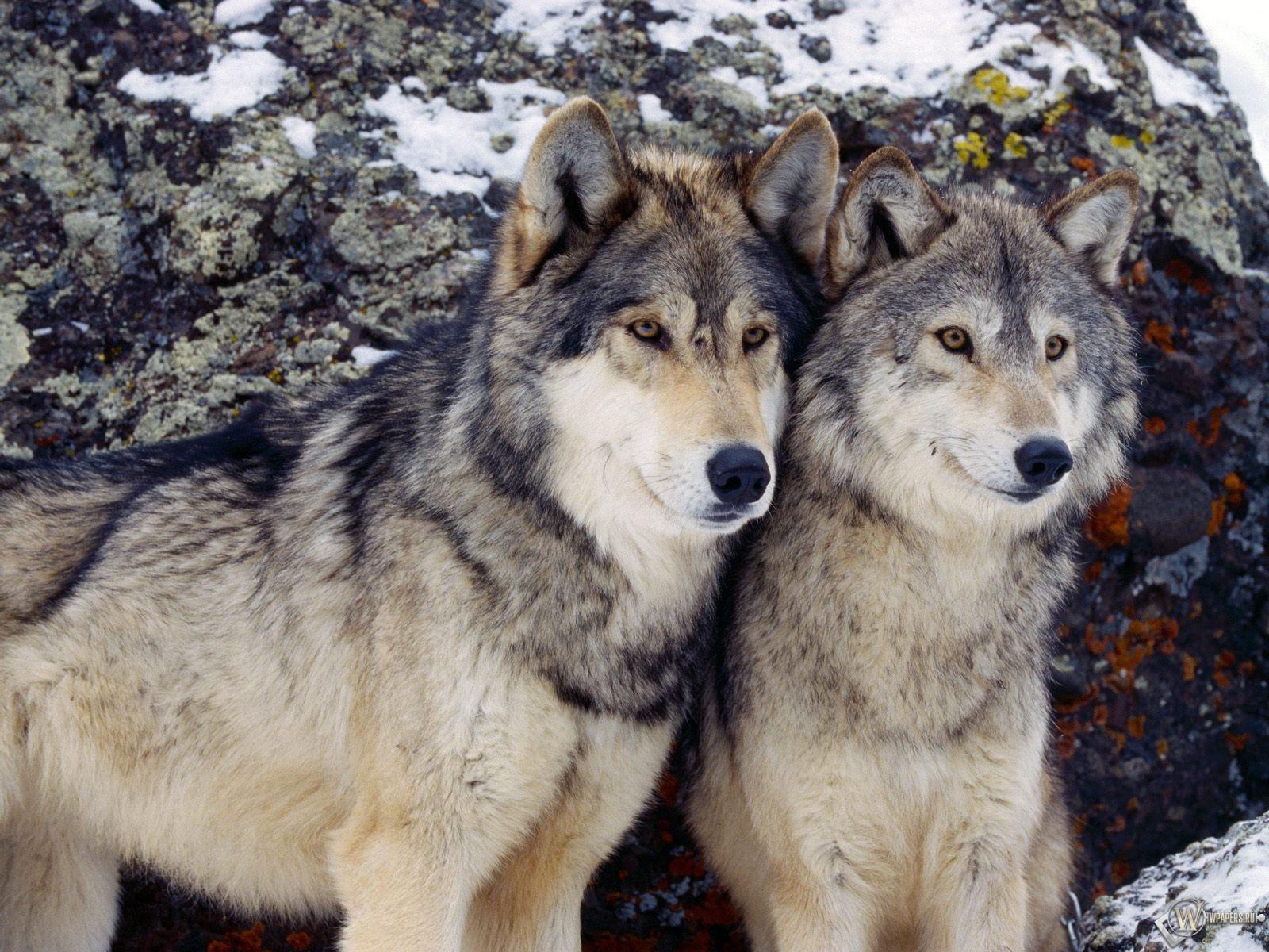 Обои два серых волка на рабочий стол с