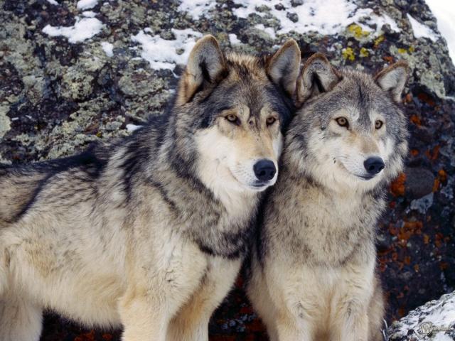 Два серых волка