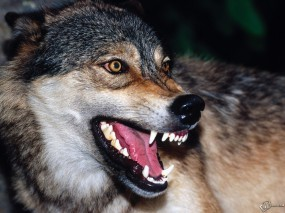 Обои Волчья пасть: Волк, Пасть, Оскал, Волки