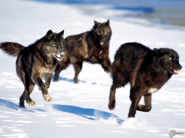 Черные волки охотятся снег волки