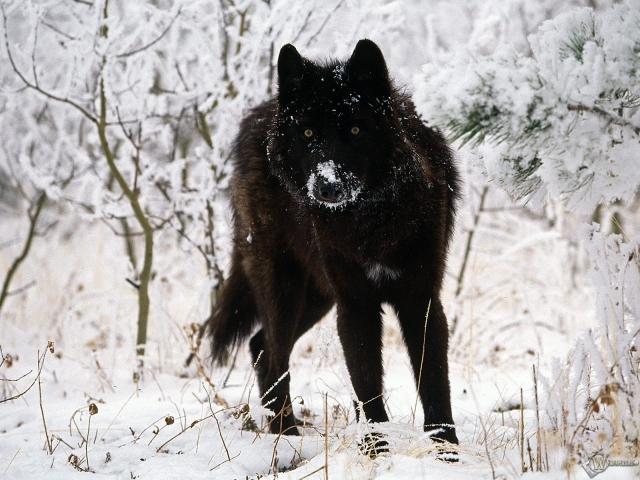 Черный волк на белом снегу