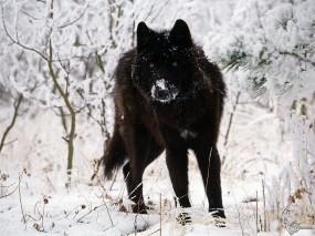 Обои Черный волк на белом снегу: Зима, Снег, Черный волк, Волки