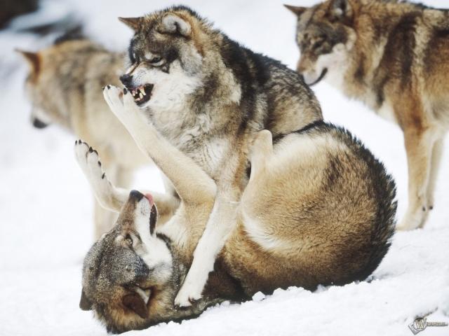 Бой волков
