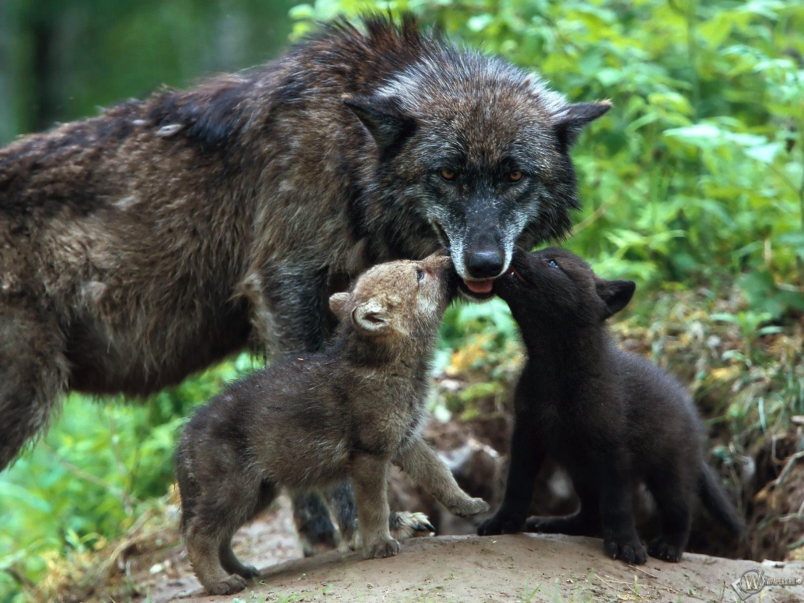 Волчица кормит волчат 1600x1200