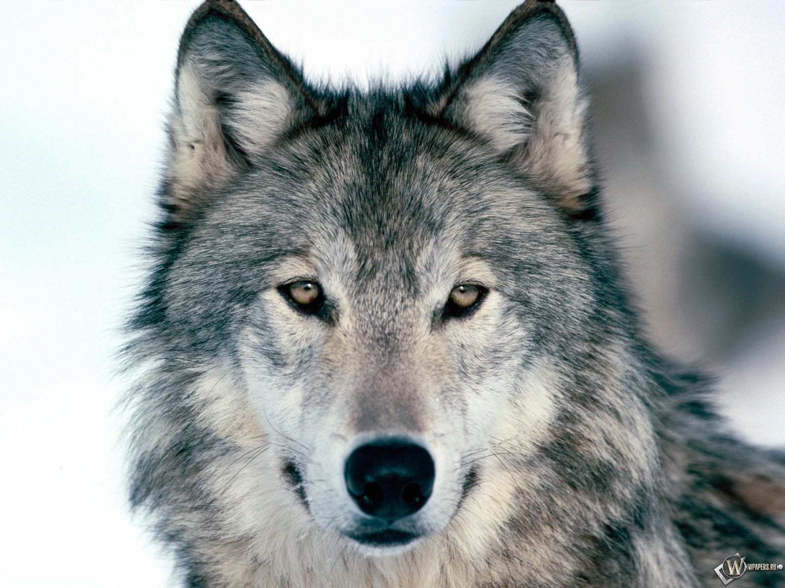 Серый волк 1600x1200