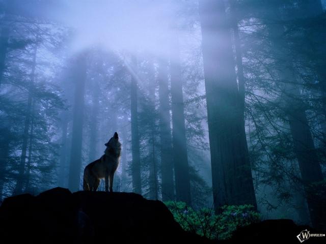 Волк воет