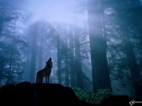 Обои Волк воет: Лес, Солнце, Волк, Вой, Чаща, Волки
