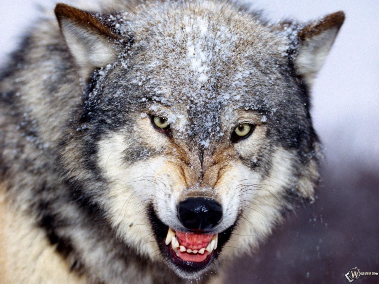 Обои злой волк снег волк оскал 1280x960