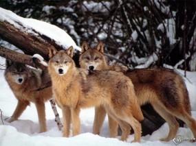 Обои Три волка: Зима, Снег, Волки, Волки