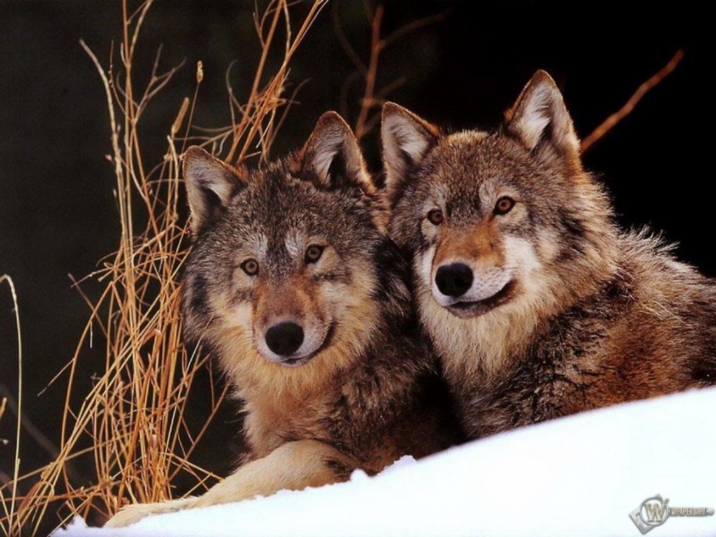Обои два волка зима снег волки 1024x768