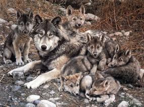 Обои Волчица с волчатами: Семья, Волчата, Волчица, Волки