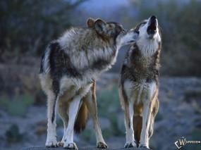 Обои Братья волки: Волки, Вой, Волки