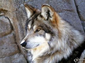 Обои Красивый волк: Фото, Волк, Голова, Волки