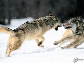 Обои Драка волков: Снег, Волки, Драка, Схватка, Волки