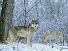 Обои Волки на снегу: Зима, Снег, Волки, Ветки, Волки