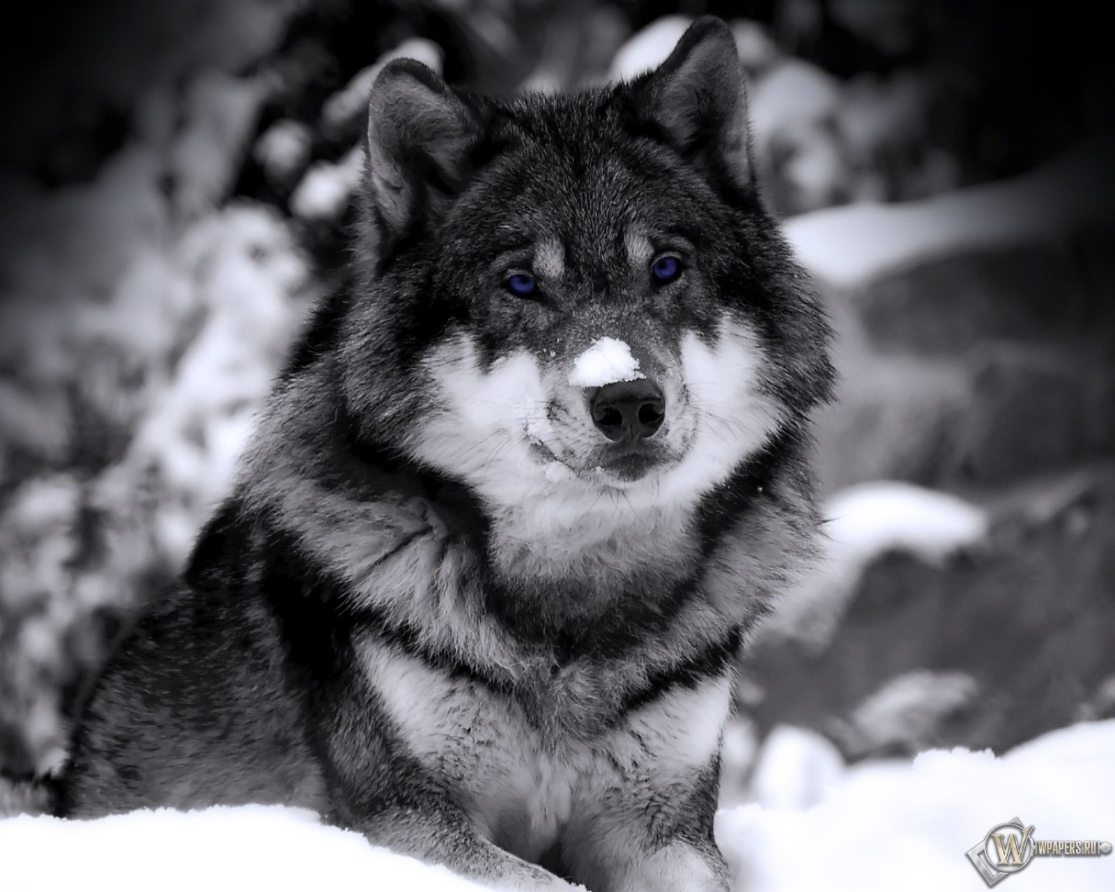 Волк ч/б 1600x1280...