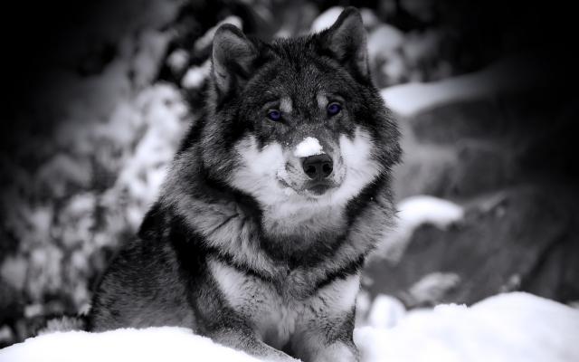 Волк ч/б