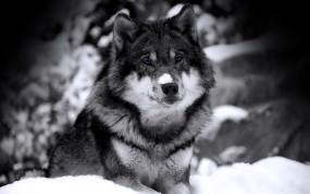 Обои Волк ч/б: Зверь, Зима, Снег, Взгляд, Волк, Хищник, Ч/б, Волки