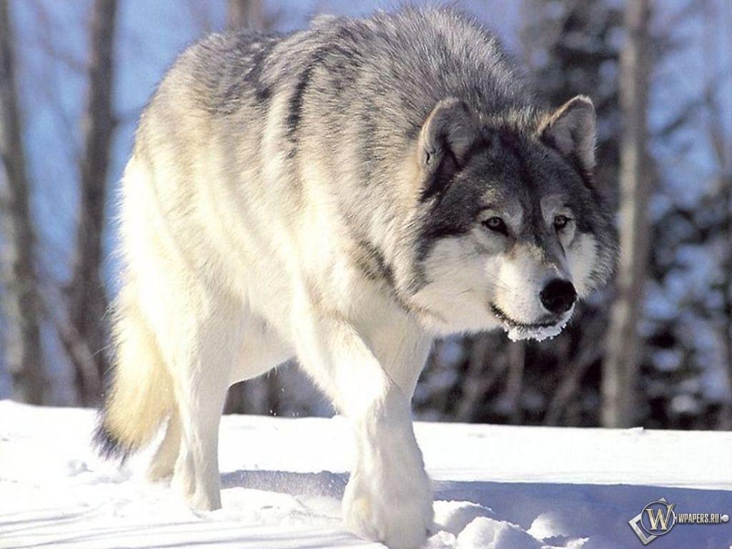 Волк идущий по снегу 1024x768