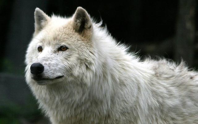 Фото белый и черный волк