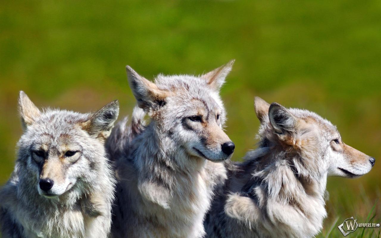 Обои три волка волки семья братья