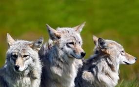 Обои Три волка: Волки, Семья, Братья, Волки