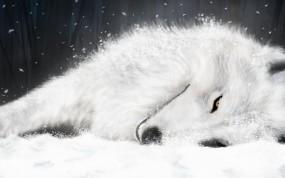 Обои Волк отдыхает: Отдых, Белый волк, Волки