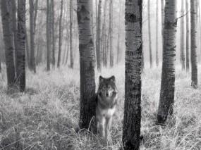 Обои Волк за деревом: Деревья, Волк, Волки