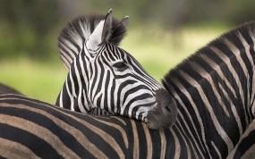 Обои Зебры: Полоски, Зебры, Зебры