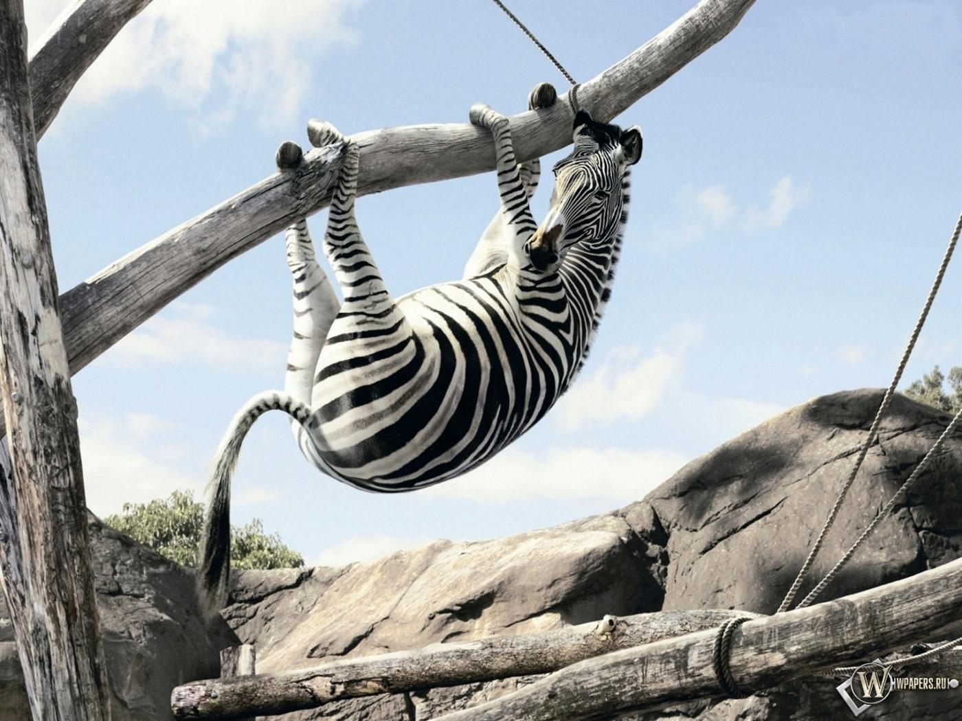 Зебра вверх ногами на дереве 1400x1050