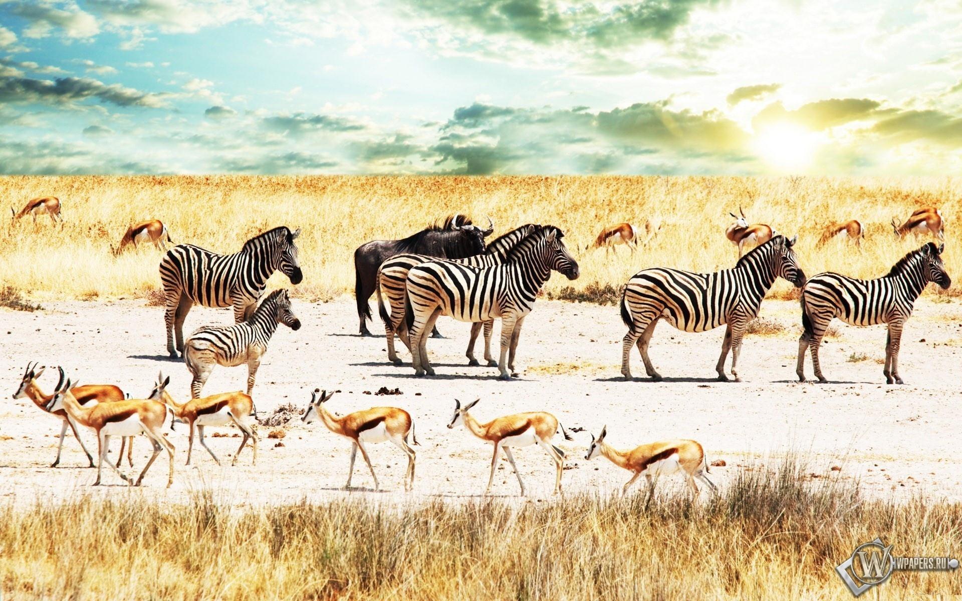 Зебры в саванне 1920x1200