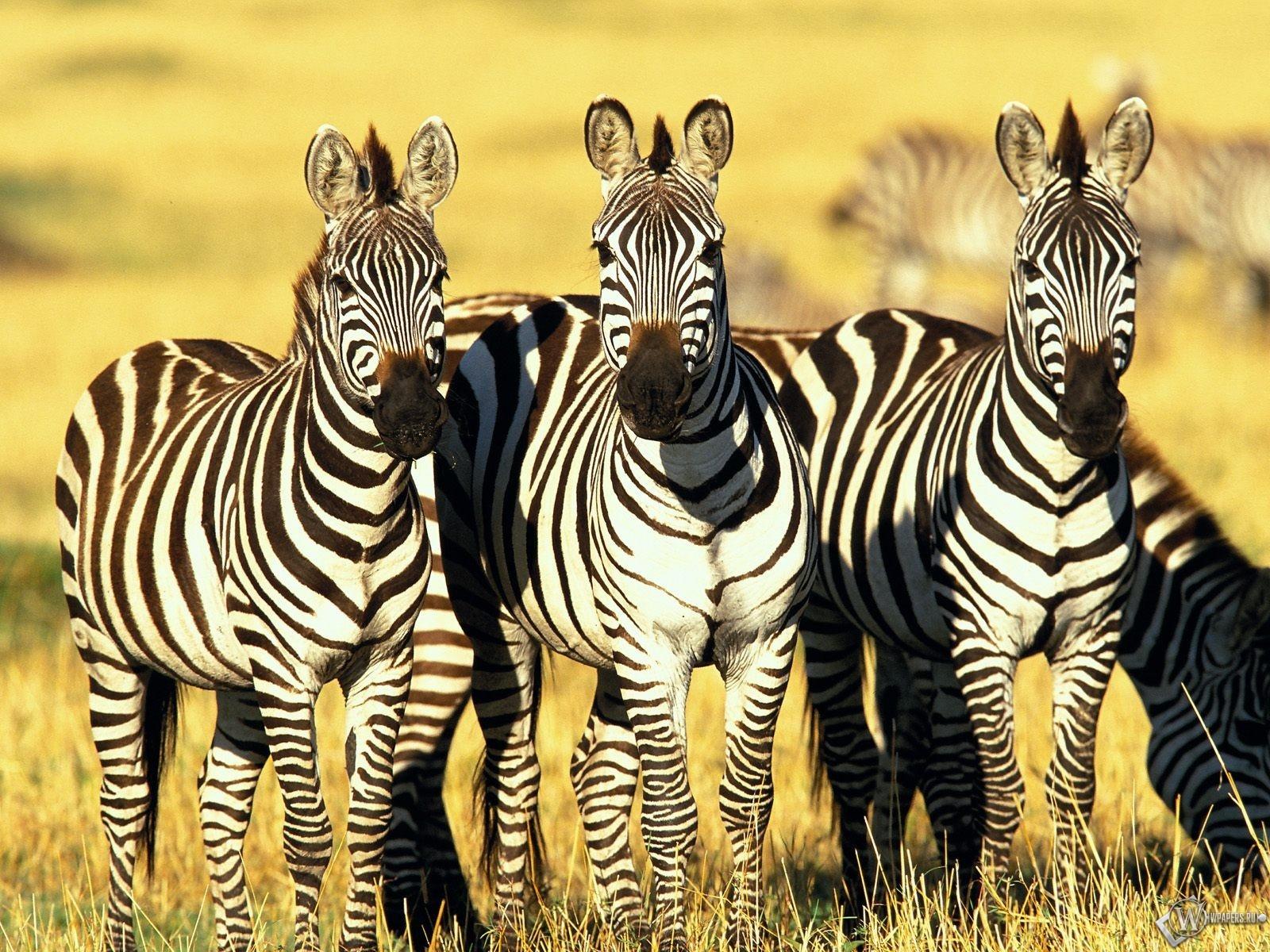 Три зебры 1600x1200