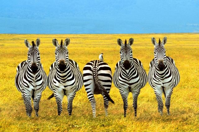 Четыре зебры и жопа