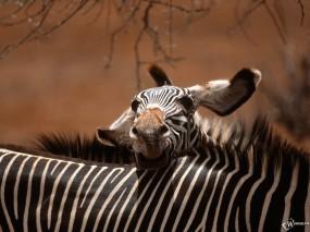 Обои Морда зебры: Морда, Зебра, Зебры