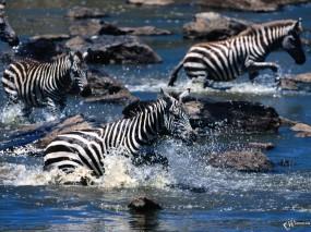 Зебры бегут через ручей