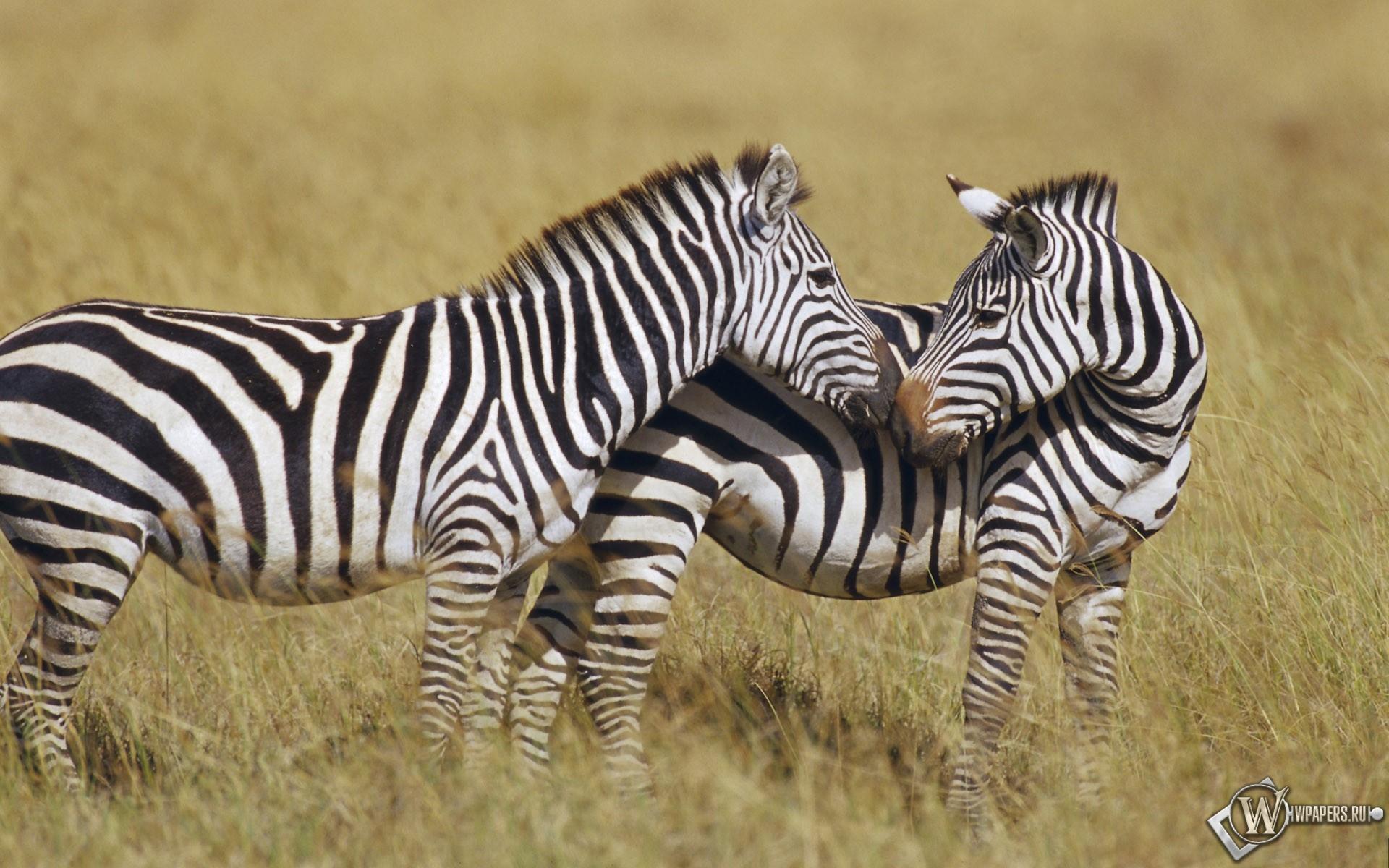 Две зебры 1920x1200