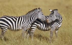 Обои Две зебры: Любовь, Полоски, Зебра, Зебры