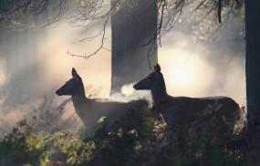 Обои Олени в лесу: Лес, Туман, Олени, Прочие животные
