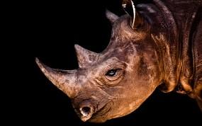 Обои Носорог: Носорог, Животное, Травоядное, Прочие животные