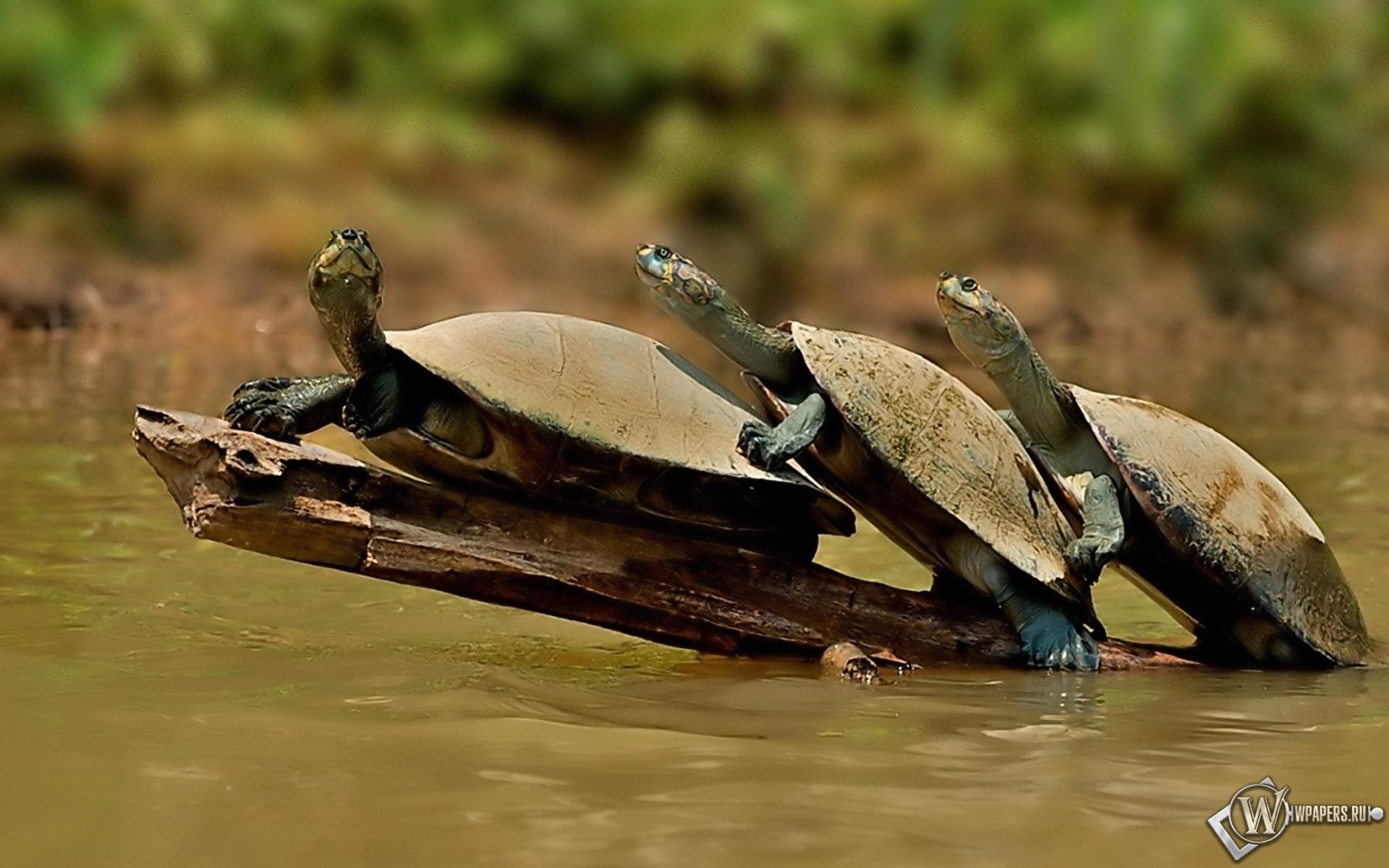 Обои черепахи вода черепахи 1920x1200