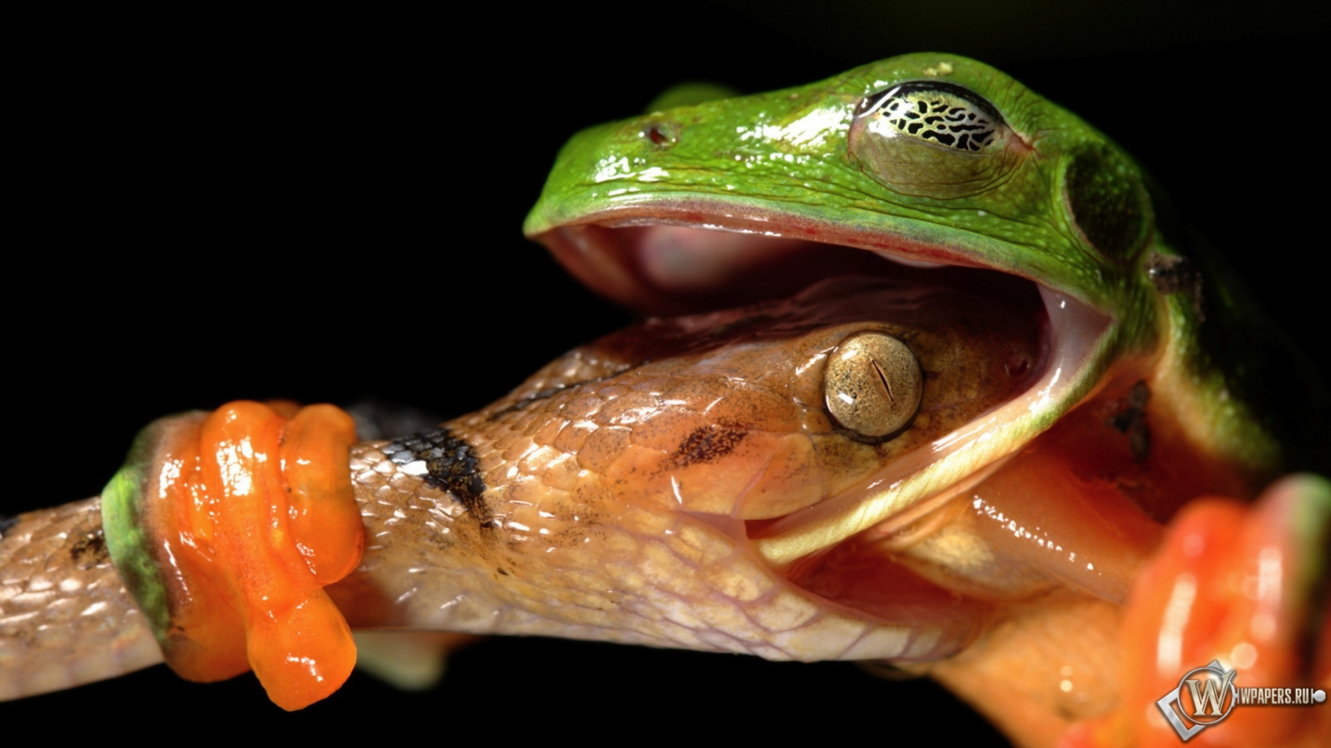 Змея укусила лягушку 1920x1080