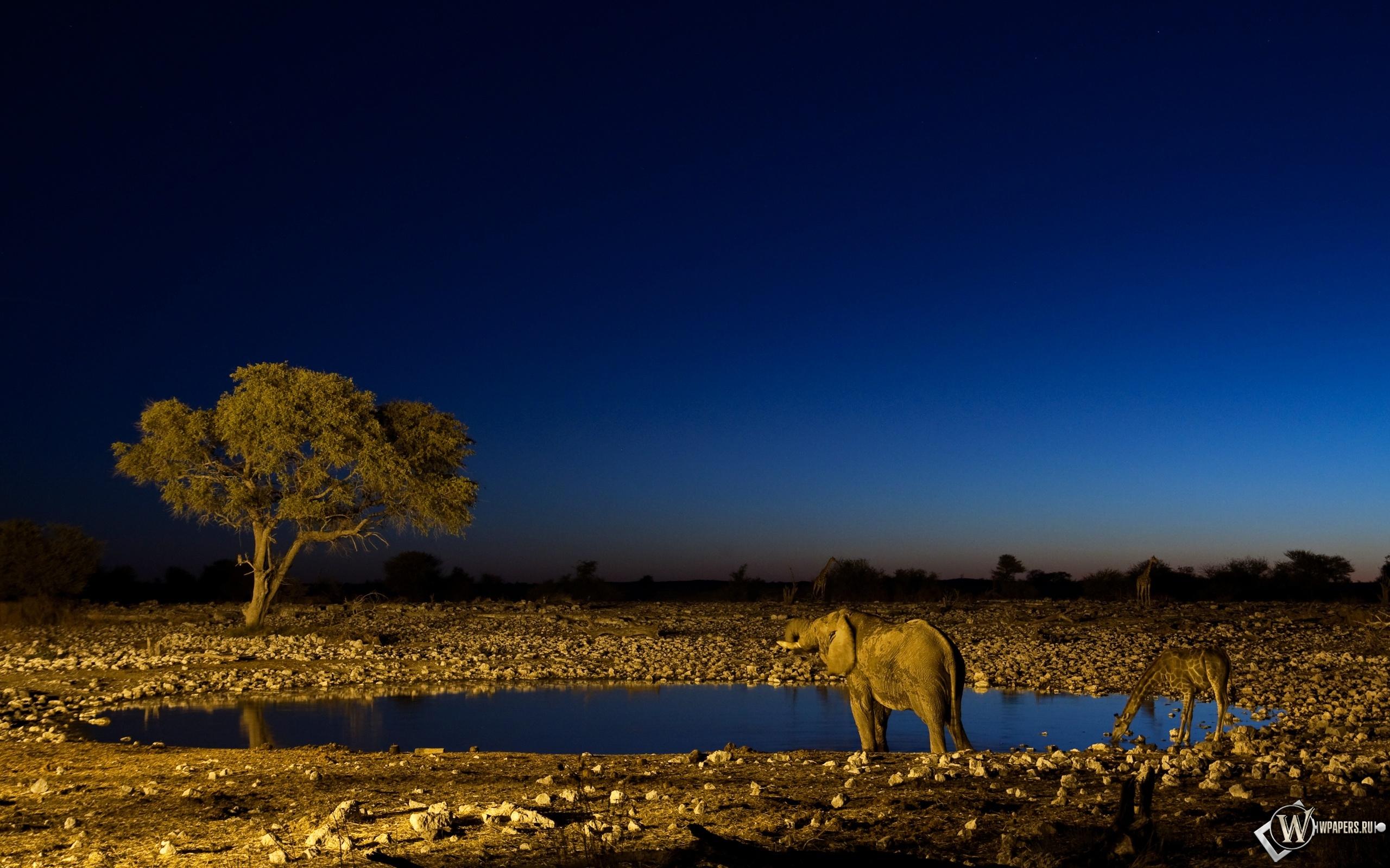 Слон и жираф на водопое 2560x1600