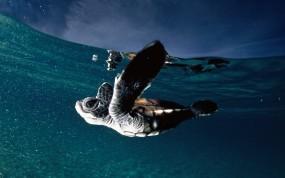 Обои Черепашка во Французской Полинезии: Вода, Океан, Черепаха, Прочие животные