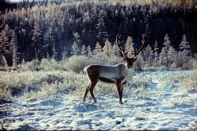 Обои Благородный олень: Зима, Снег, Лес, Олень, Прочие животные