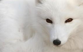 Обои Песец: Зверь, Белый, Песец, Прочие животные