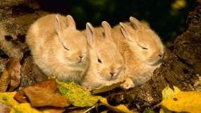 Обои Три мушкетера: Осень, Листья, Кролик, Прочие животные