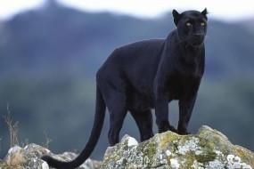 Обои Пантера: Пантера, Животное, Прочие животные