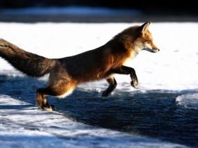 Обои Лиса в прыжке: Лиса, Red Fox, Прочие животные