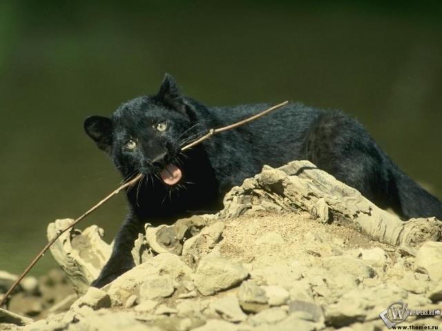 Пантера грызет палку