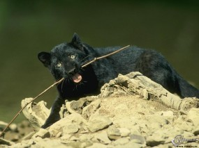 Обои Пантера грызет палку: Пантера, Прочие животные